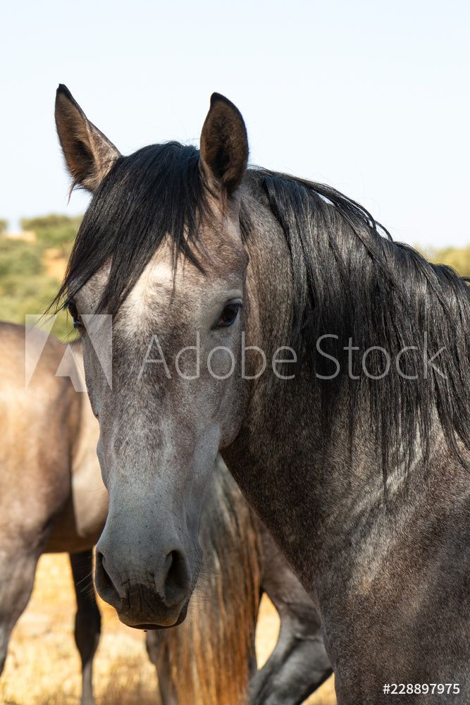 Caballo Gris ♾ Grey Horse Adobe Stock 228897975